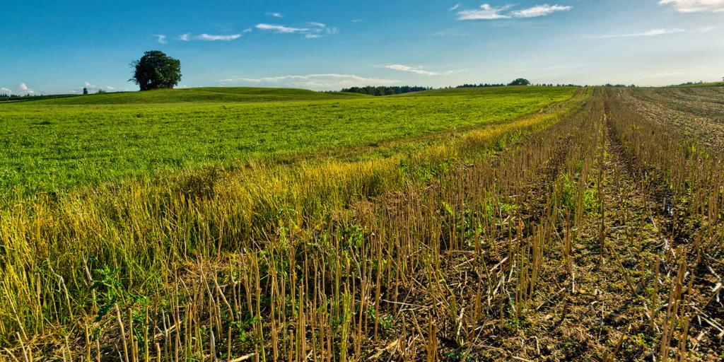 August field scene